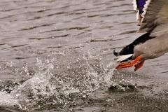 duck-2192524_640