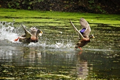 duck-3631117_640