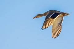 duck-3665877_640-1