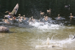 ducks-55598_640