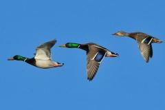 mallard-ducks-931139_640