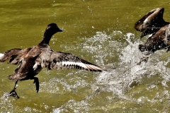 tufted-duck-3178892_640